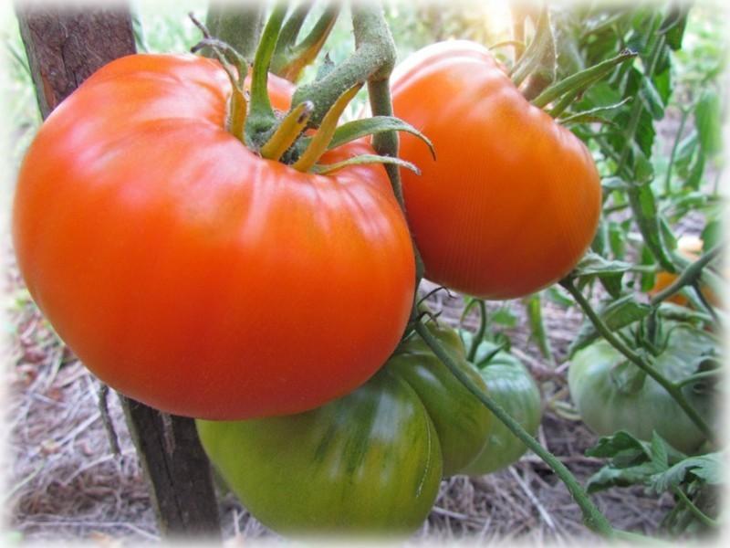 Алтайский оранжевый томат.