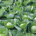 Как правильно поливать и подкармливать капусту для хорошего урожая.
