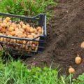 Увеличиваем урожай картофеля благодаря правильным рекомендациям.