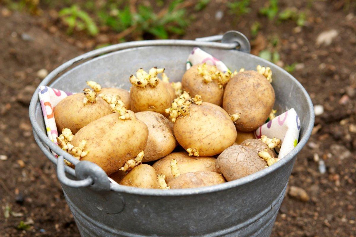 Посадка картофеля.