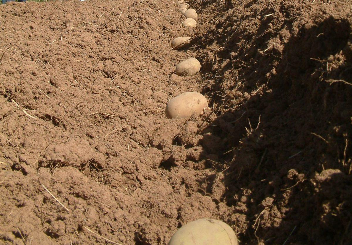 Земля для посадки картофеля.