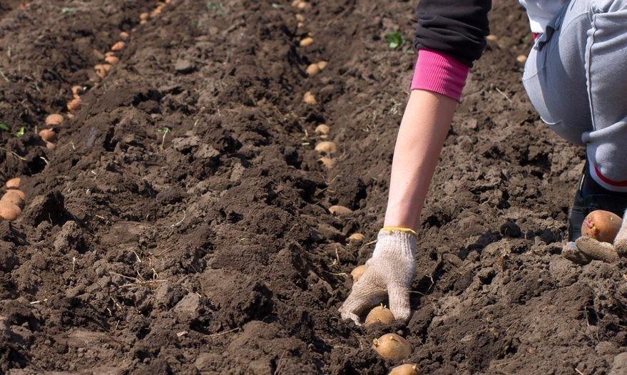 Расстояние между посадкой картофеля.