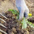 Прополка сорняков на огороде — обязательно ли?