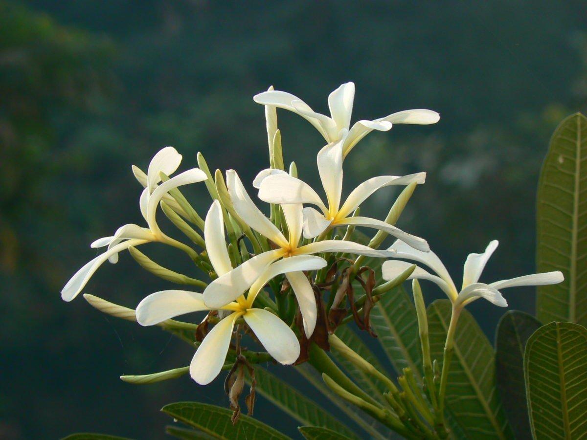 Растения семейства кутровых