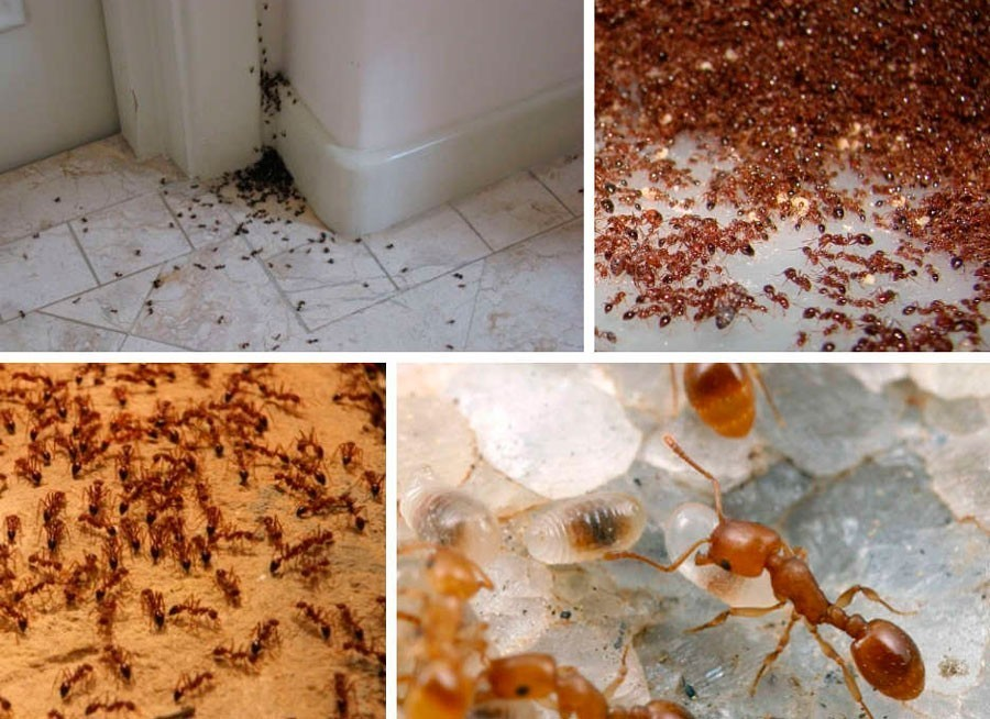 Чем вывести маленьких рыжих муравьев из квартиры