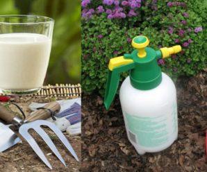 Правильная подкормка огурцов йодом и молоком.