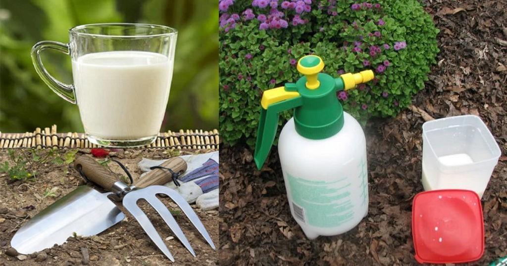Лучшие рецепты подкормки огурцов с молоком и йодом