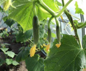 Чем и как подкармливать огурцы во время цветения и плодоношения.