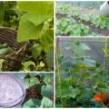 Подкормка огурцов в теплице: какие удобрения использовать и как часто их вносить.
