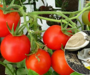 Правильная подкормка помидор дрожжами: корневая и внекорневая.