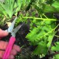 Летняя обрезка винограда до и во время цветения.