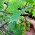 Подкормка винограда после цветения — корневая и внекорневая.