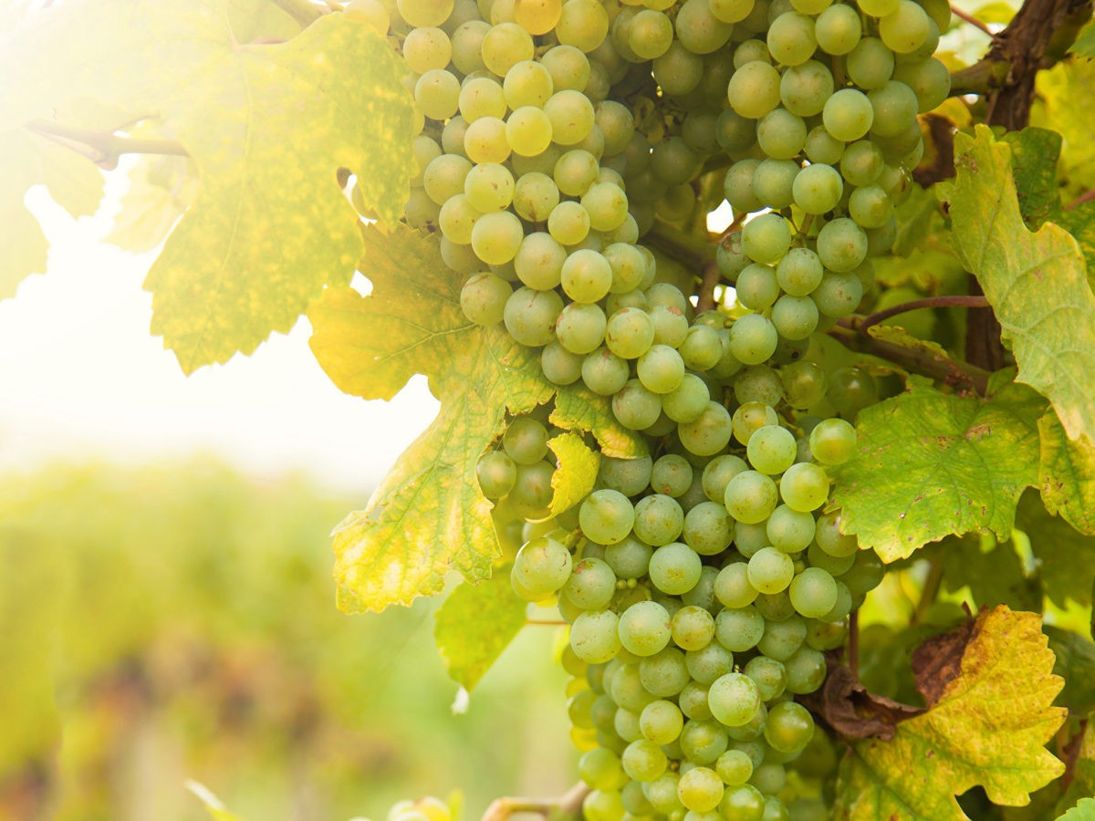 Хороший виноград
