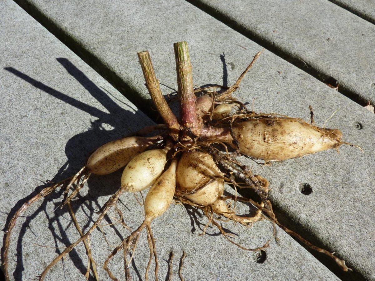 Как сохранить корень георгина зимой