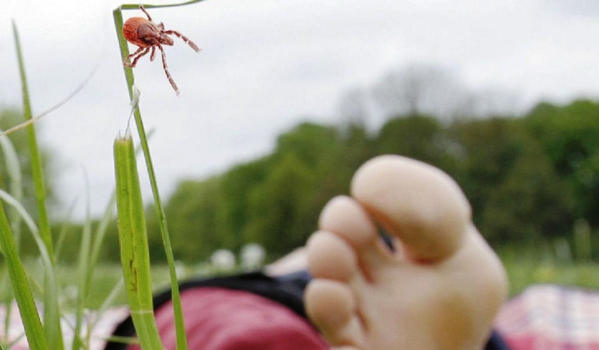 Какие растения посадить на даче для отпугивания клещей и других кровососущих паразитов