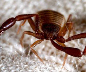 Книжный ложноскорпион: опасен ли он, и как его вывести с квартиры