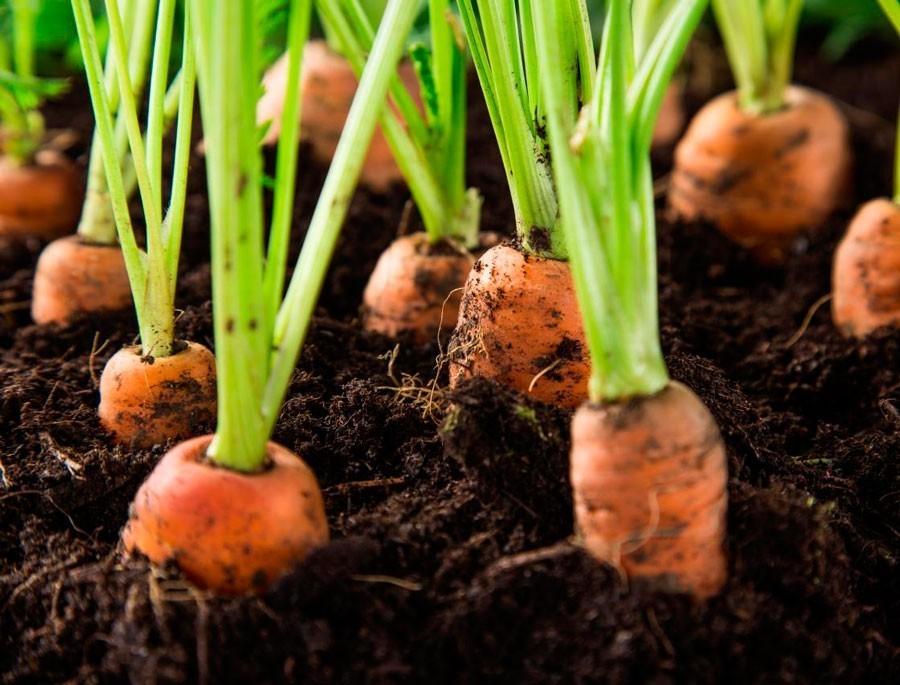 Как посадить морковь осенью