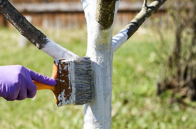 Побелка вишневого дерева