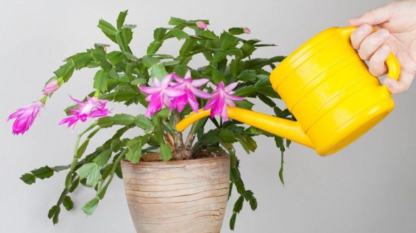 Чем поливать комнатные цветы