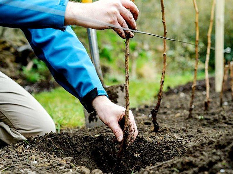 Посадка малины осенью: сроки и уход за саженцами