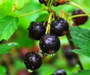 Правильное размножение и посадка смородины осенью