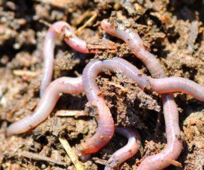 Какую пользу и вред несут дождевые червы для огорода