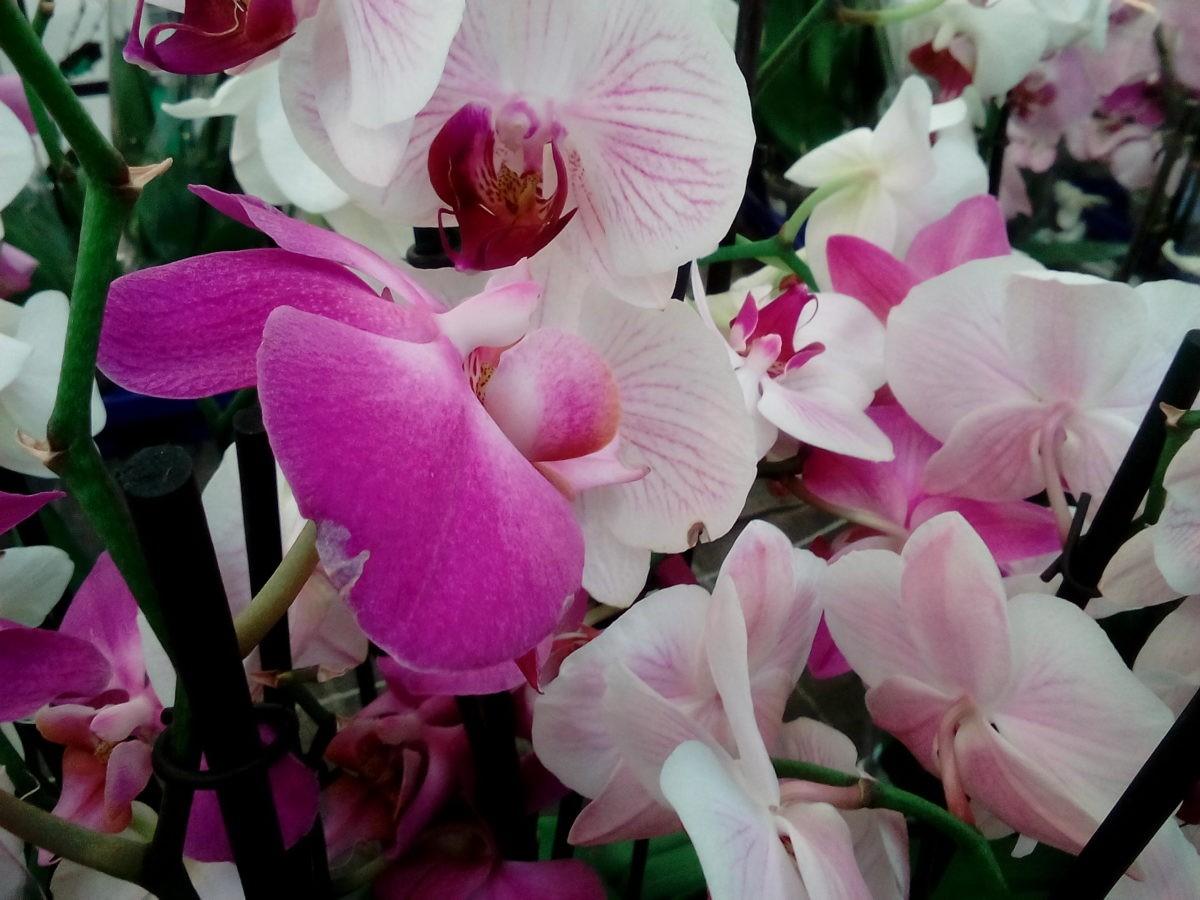 Как выращивать орхидеи дома