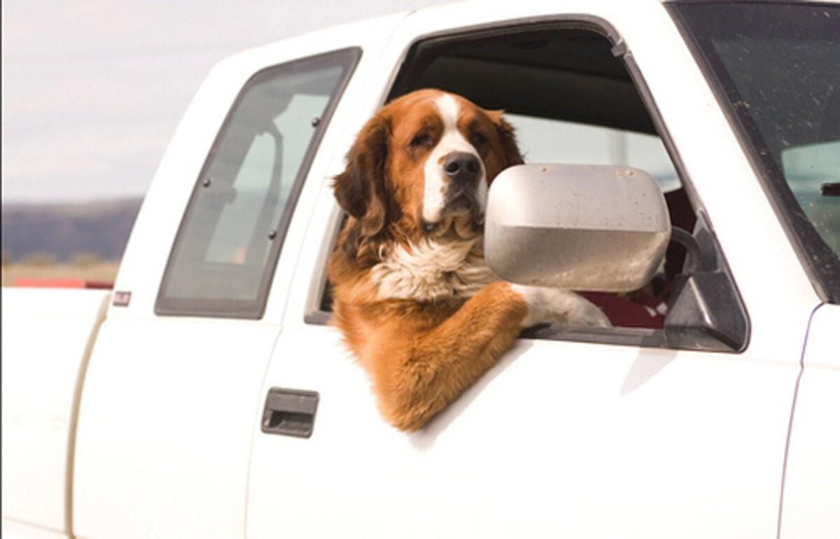 Можно ли получить штраф за перевозку собаки или кошки в непристегнутом виде