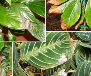 У комнатных растениях на зиму сохнут кончики листьев — почему это происходит и как ему помочь?
