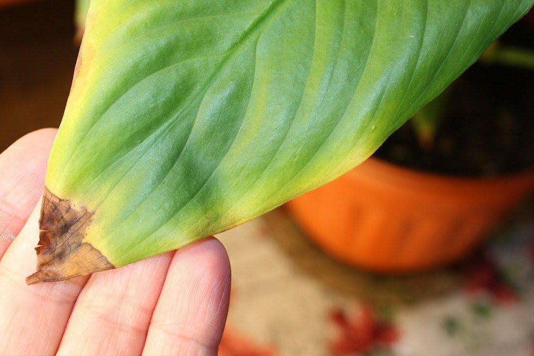 У комнатного растения сохнут кончики листьев