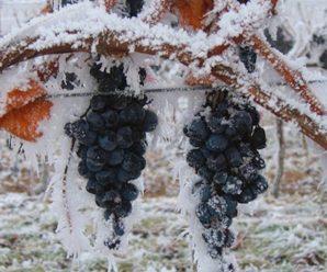 Как, когда и чем укрывать виноград на зиму — лучшие способы