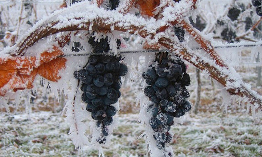 Укрытие винограда на юге россии