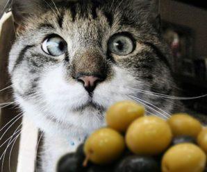 Можно ли кошкам давать оливки?