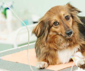 Вакцинация собак от пироплазмоза: что нужно знать? Список основных профилактических прививок