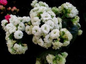 Каланхоэ: посадка, выращивание и уход