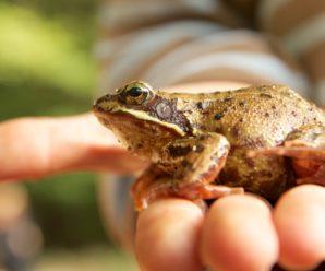 Как избавиться от земляных жаб на участке?
