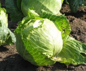 Как выращивать раннеспелую белокочанную капусту?