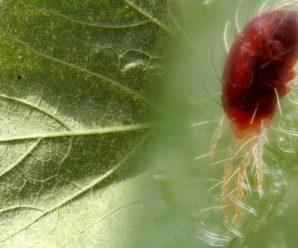 Эффективные методы борьбы с паутинным клещом на огурцах
