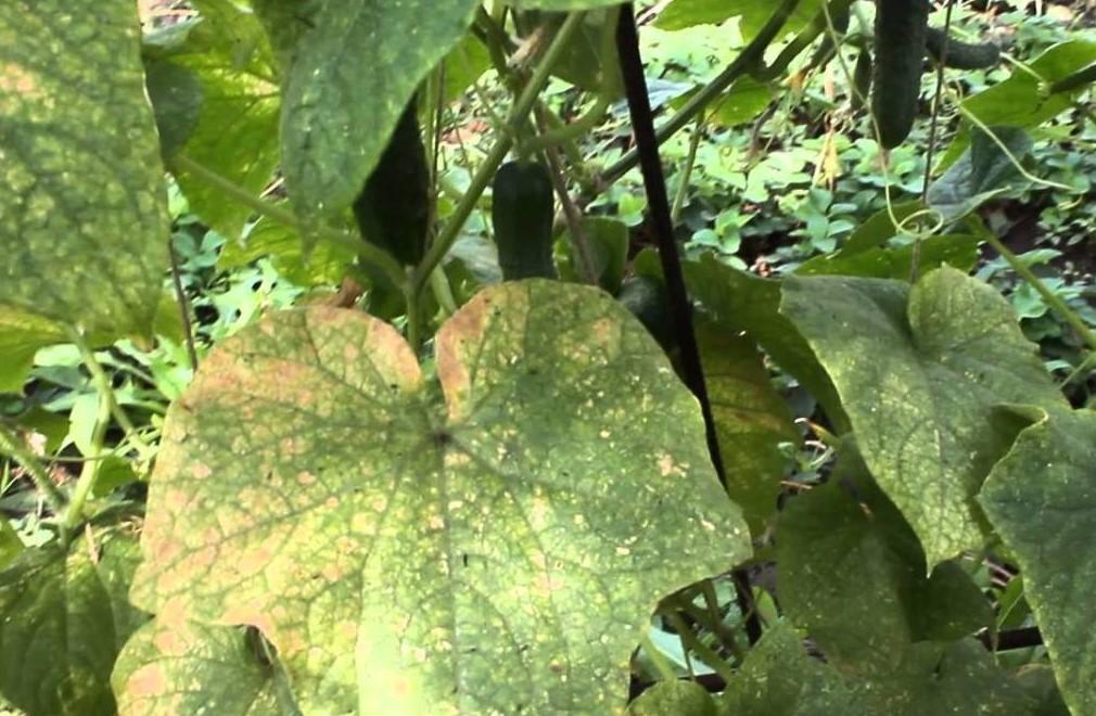 Признаки болезни огурцов паутинными клещами
