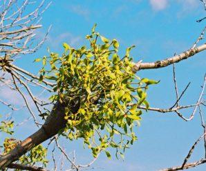 Вредит ли омела деревьям?
