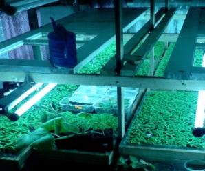 Когда и как пикировать рассаду томатов — пошагово