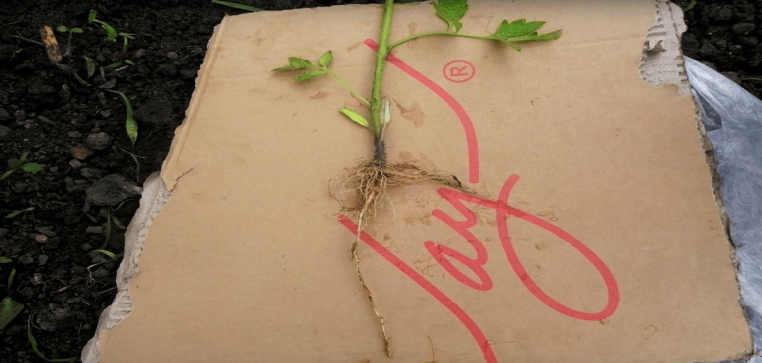 Стержневой корень сеянца томатов