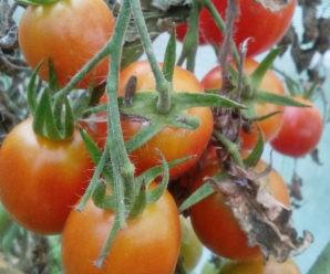 Как получить богатый урожай помидор: топ-10 хитростей