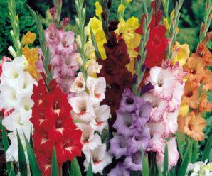 Гладиолусы: посадка в грунт, уход при выращивании, хранение клубней зимой