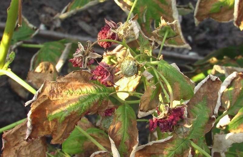 Сухие листья у малины