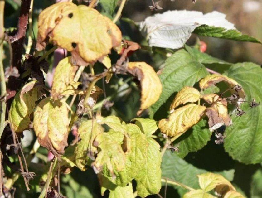 Засыхание листьев