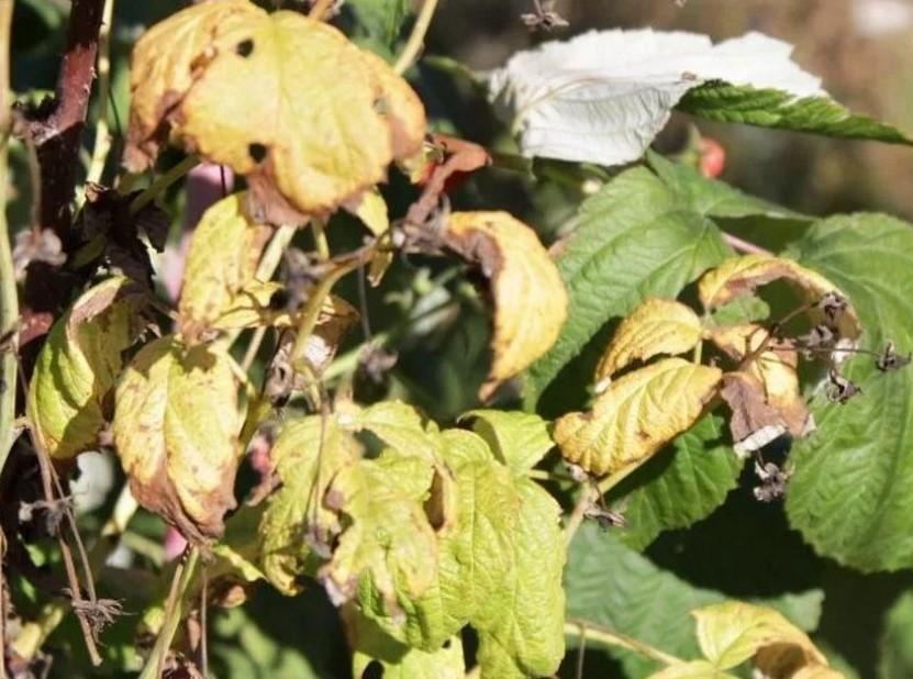 Желтые и увядшие листья малины
