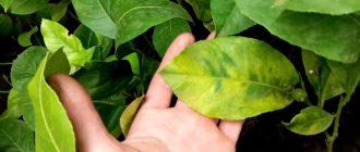 На лимоне сохнут листья