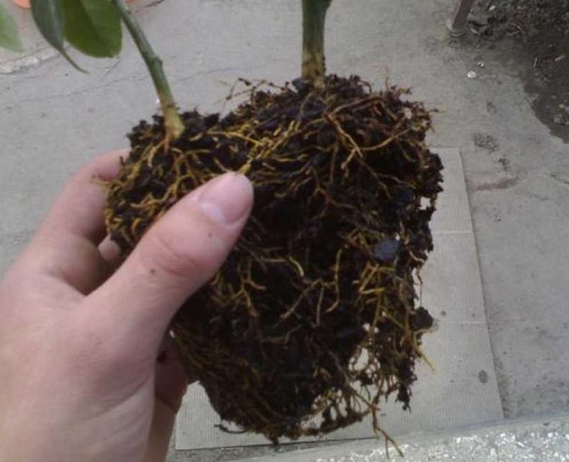 Промывка корней лимона