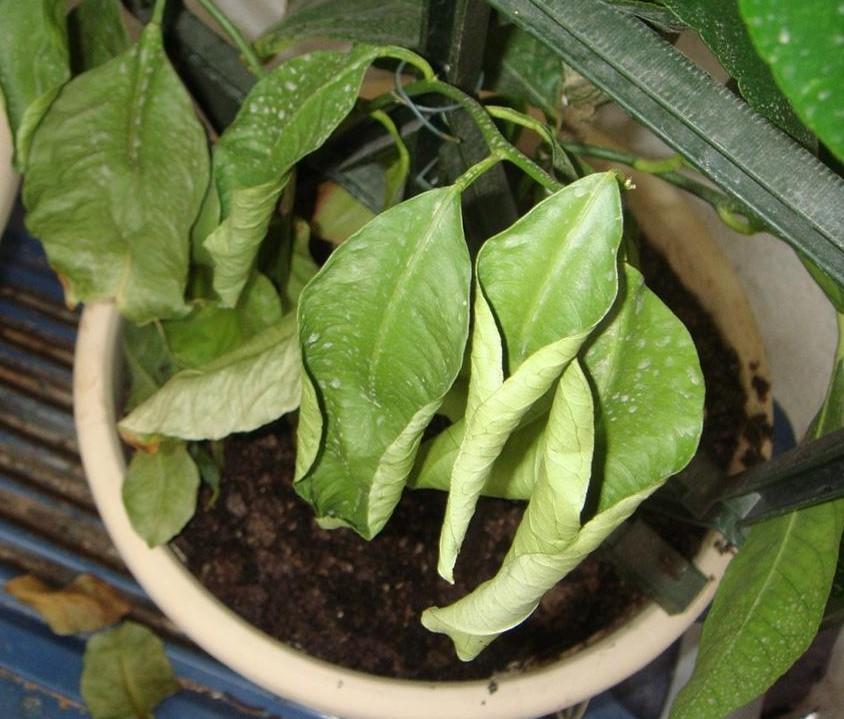 Сохнут и скручиваются края листьев лимона